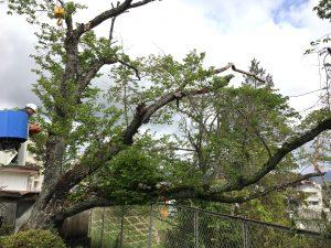 大きく枝を伸ばした桜の老木
