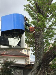 桜の老木伐採-チェンソー作業