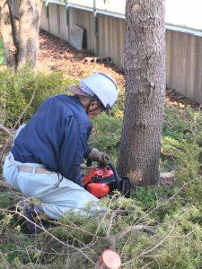 杉の伐採-根本をチェンソーで切る