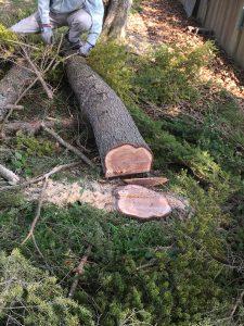 杉の木の切り株