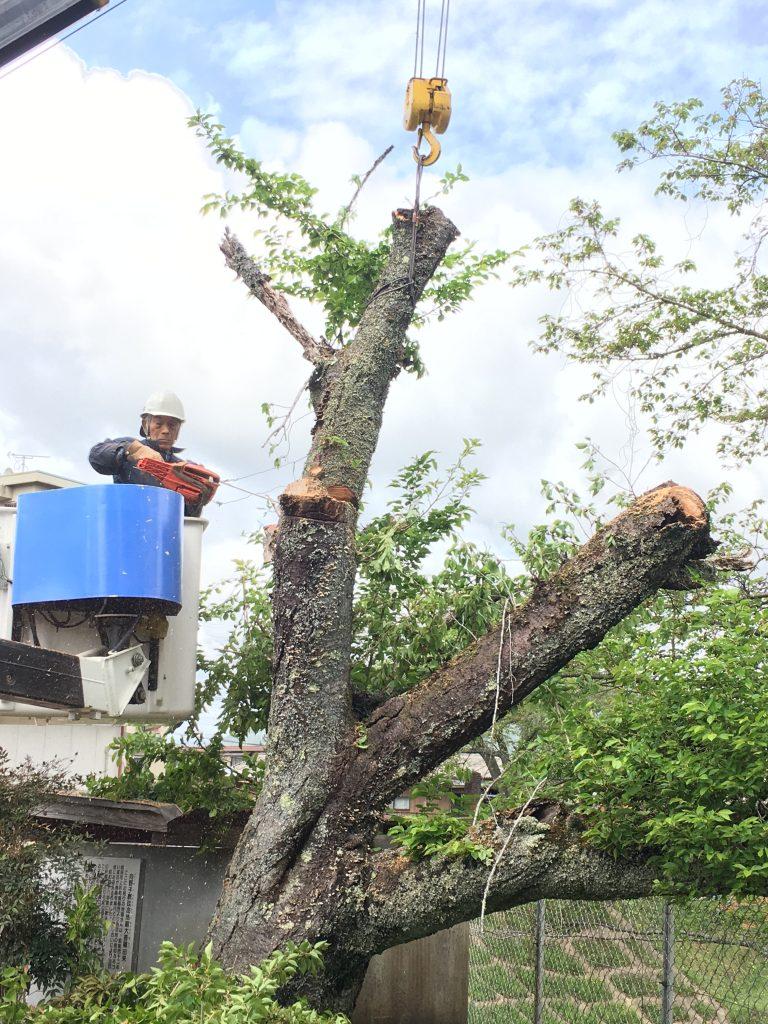桜の老木伐採-レッカー作業